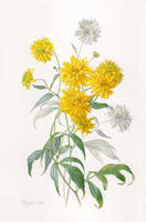 Rudbeckia laciniata by gudzolga