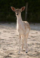Deer by Megan1970