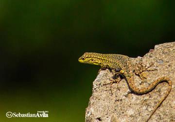 lizard chile by scorpion2200seba