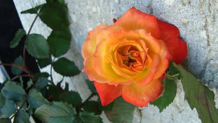 Rose by lo-scrigno-di-connie