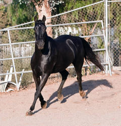 HORSE STOCK - FOXTROTTER BC 10 by kittykitty5150