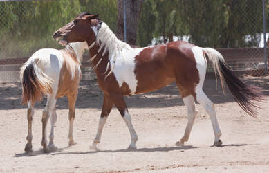 HORSE STOCK -  Pintos 2 by kittykitty5150