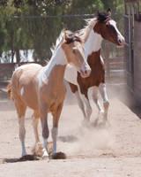 HORSE STOCK -  Pintos 3 by kittykitty5150