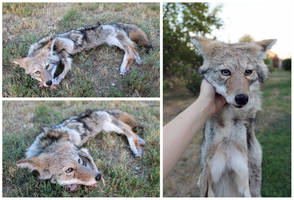 Fem Coyote, Head Only (2) by WeirdCityTaxidermy