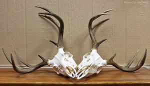 Worsham Whitetail Skulls by WeirdCityTaxidermy