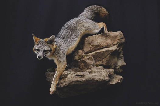 Gray Fox on the Rocks (1) by WeirdCityTaxidermy