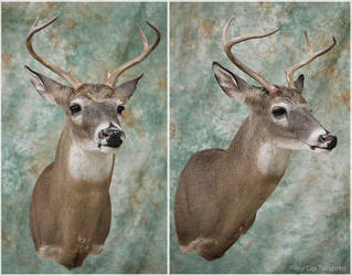 Richards Buck by WeirdCityTaxidermy