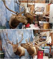 Two Bulls by WeirdCityTaxidermy