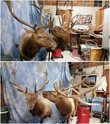 Two Bulls by WeirdCityTaxidermy