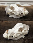 Wolfdog Skull by WeirdCityTaxidermy