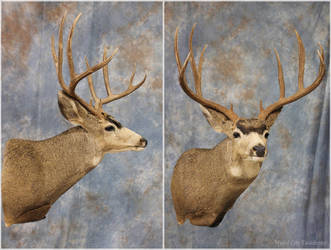 Medford Mule Deer 2016 by WeirdCityTaxidermy