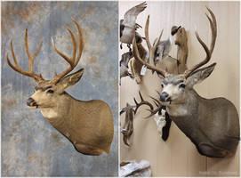 Till Mule Deer 2016 by WeirdCityTaxidermy