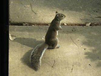 Squirrel by ReneidKlein