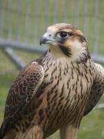 Falco peregrinus by RakuenVI