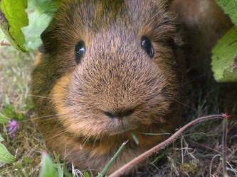 My guinea pig by Busbi