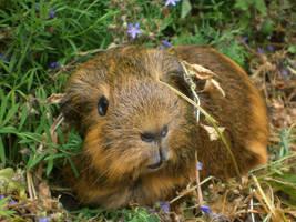 Guinea pig by Busbi