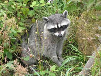 Raccoon by JENOVAS-PUPPET
