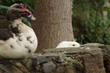 No ducks were given 3/5 by ruakuu