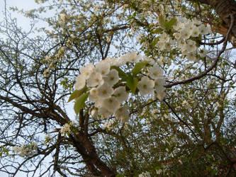 Blossom by Cluisanna