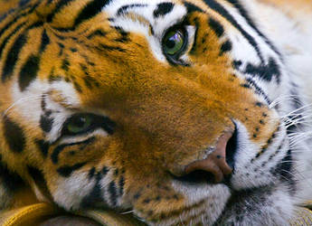 Amur Tiger by BrittanyES