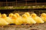 Duckling Run by tilk-the-cyborg