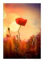 Poppy On Sunset by miki3d