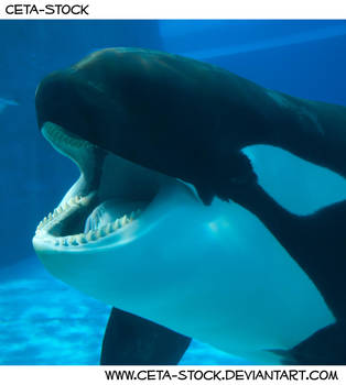 Orca Mouth 2 by Ceta-Stock