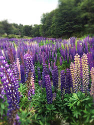 Lavender by RukiChan1