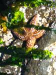 Starfish by Denaliluna