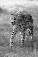 BandW - Stalking cheetah... by Seb-Photos