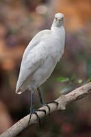 Western cattle egret by Seb-Photos
