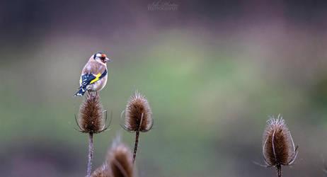 European goldfinch by Seb-Photos