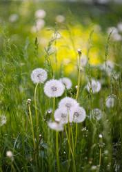 dandelions by grezelle