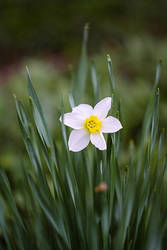 narcissus by grezelle