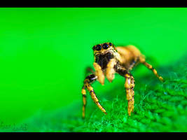 St. Patrick's Spider by FramedByNature