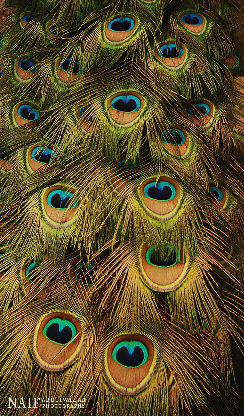 Peacock feathers by MoThEeR-212