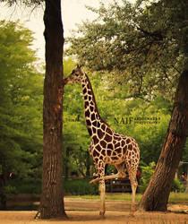 Giraffe by MoThEeR-212