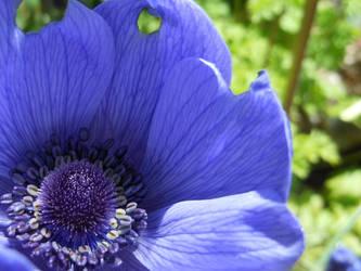 Purple Anemone by SarcasticKitten7