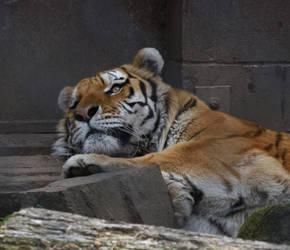 Amur Tiger by kibbecat