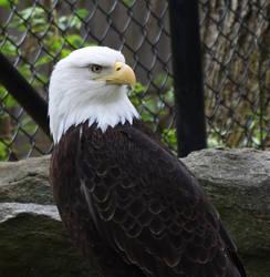 Bald Eagle by kibbecat