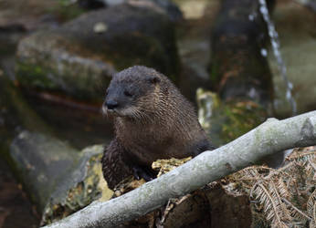 Otter by kibbecat