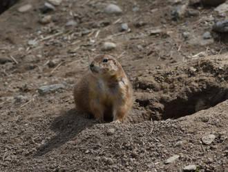 Prairie Dog by kibbecat