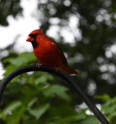 Cardinal 1 by kibbecat