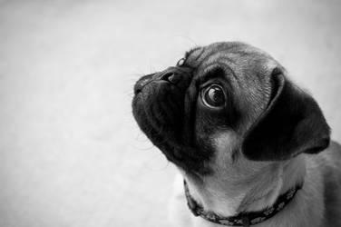 Pug Puppy by tifalif