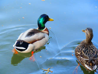 Two duck by wonies
