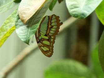 Green Butterfly by wonies