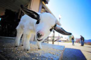 Nacho the Goat by kurtywompus