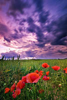 Just poppies by d-minutiv