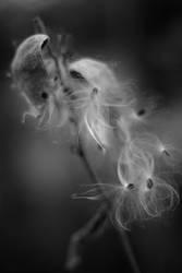 Milkweed IV by mstargazer