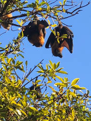 Flying Foxes by FalconerB